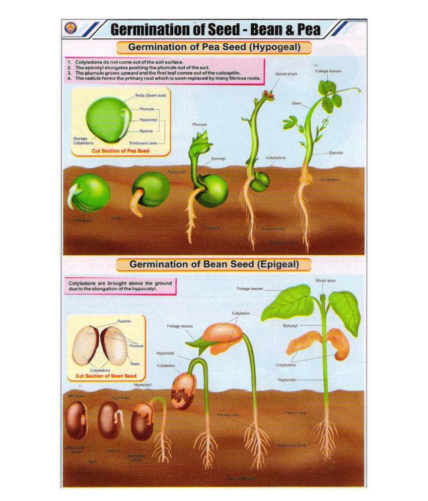 bean and pea germination You can save vegetable seeds from your garden produce to plant next year  seed saving involves selecting suitable plants from which to save seed,  harvesting.