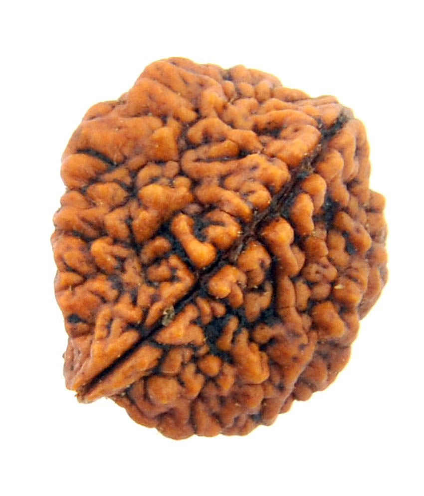 Image result for two faced Rudraksha