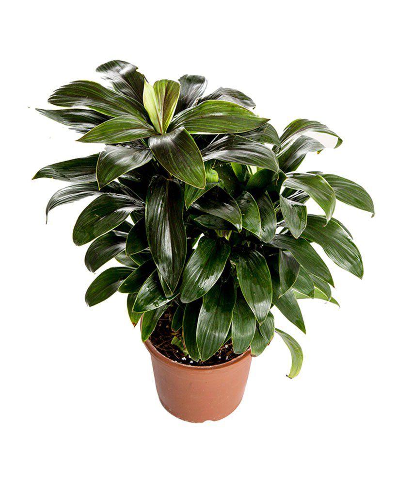 Nurturing green cordyline indoor plant buy nurturing for Indoor green plants images