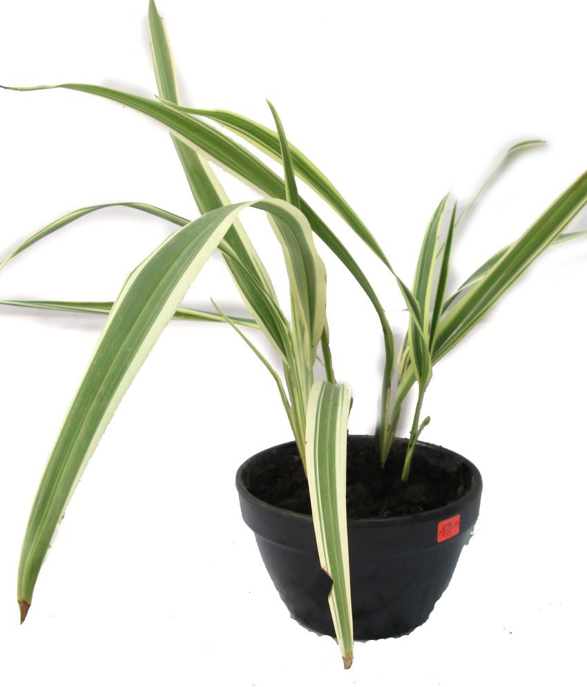 A' Bonsai Chlorophytum Comosum ( Spider Plant ) Live Plant ...