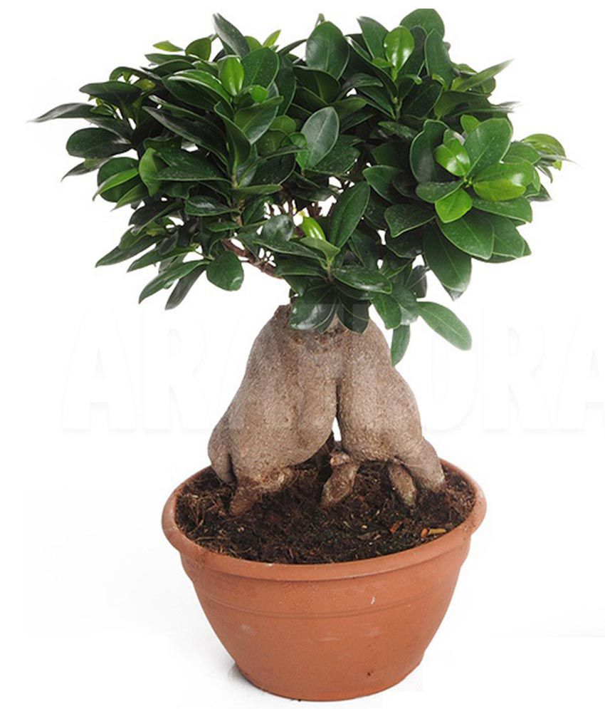 mpro tech mixed colour ficus ginseng banyan tree bonsai. Black Bedroom Furniture Sets. Home Design Ideas