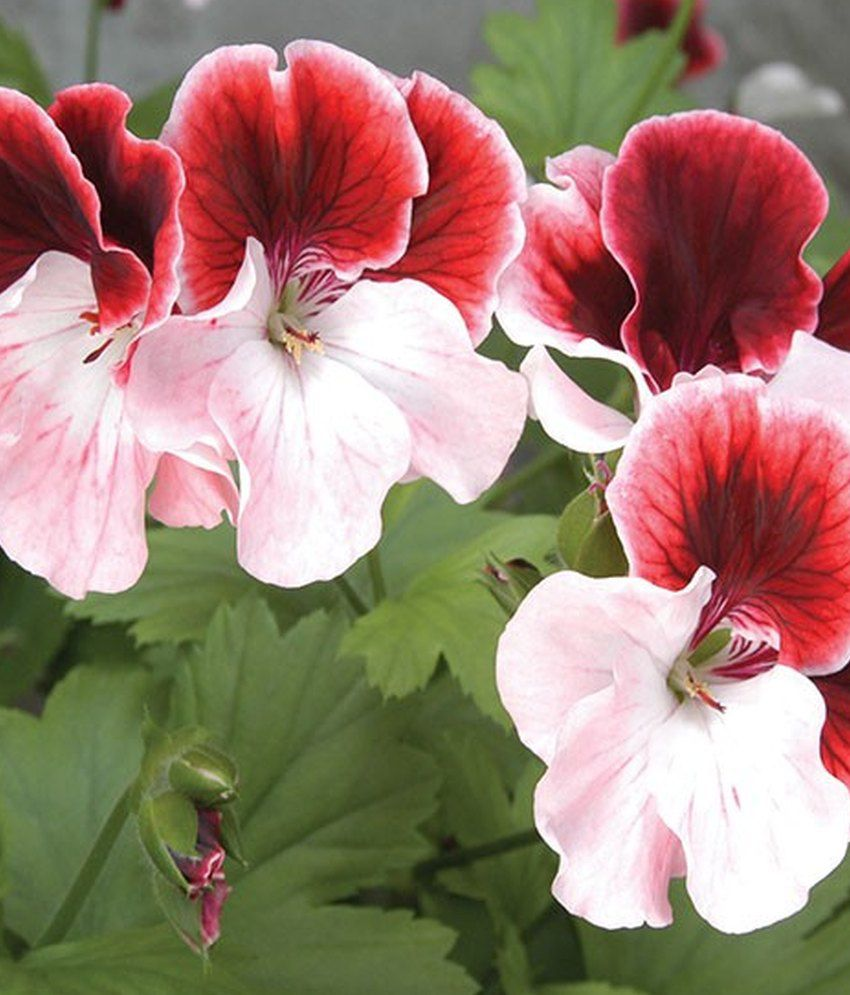 03f1f7361 Mpro-Tech Mixed Colour Pelargonium Geranium Flowers Seeds: Buy Mpro ...