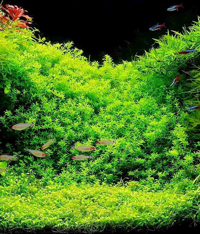Mpro-tech Green Aquarium Aquatic Plant Seeds