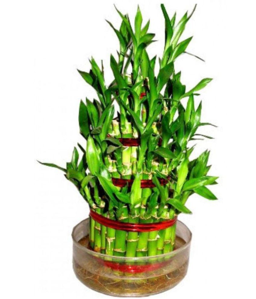 ... Green Plant Indoor GP032 Indoor Bamboo Plant