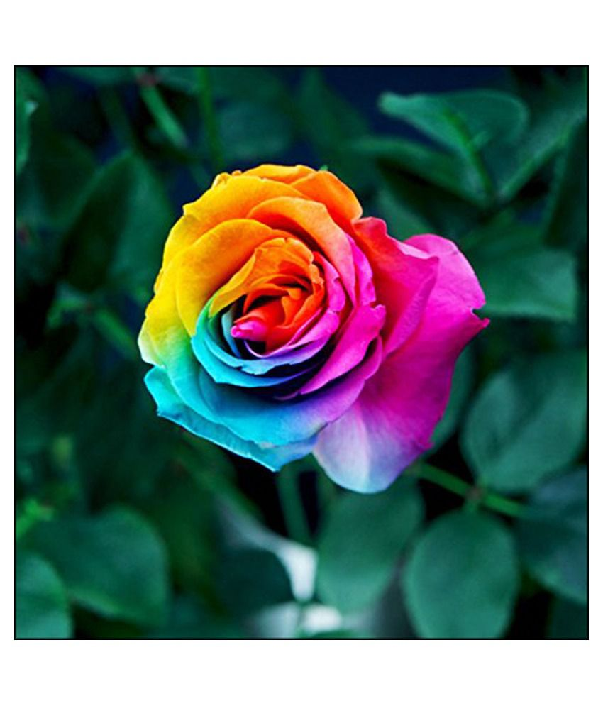 Futaba rare rainbow rose seeds flower seeds buy futaba for Buy rainbow rose seeds