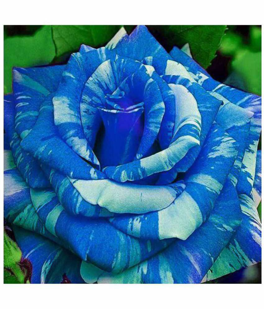 Futaba Blue Dragon Rose Flower Seeds Buy Futaba Blue Dragon Rose