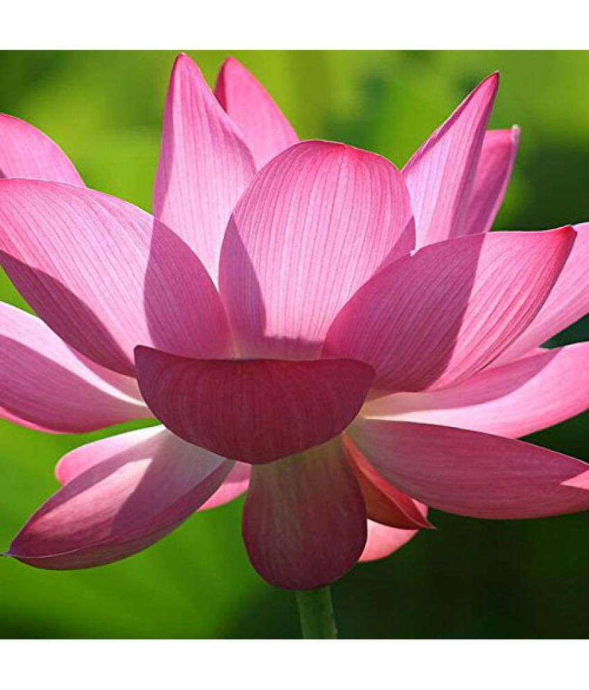 Futaba Pink Lotus Flower Seeds Buy Futaba Pink Lotus Flower Seeds