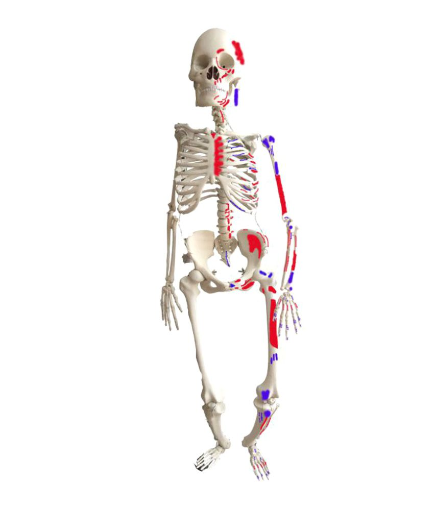 Herindera Scientific Educational Human Skeleton