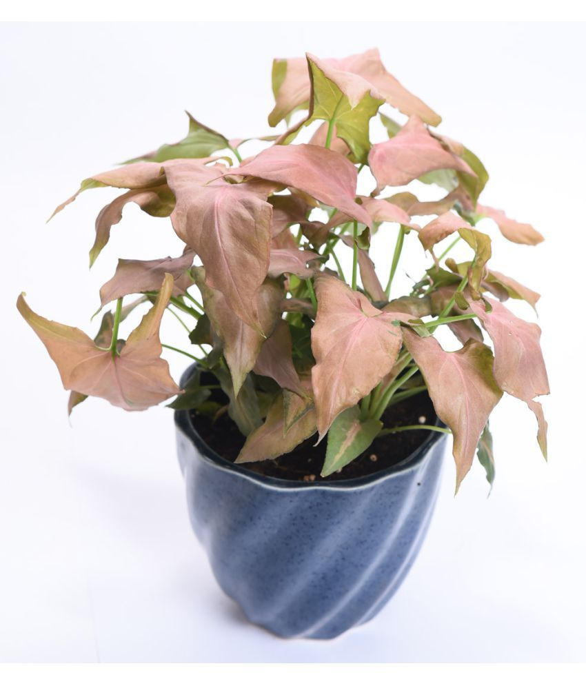 ... Sheel Greens Pink Syngonium Indoor Indoor Plant ...