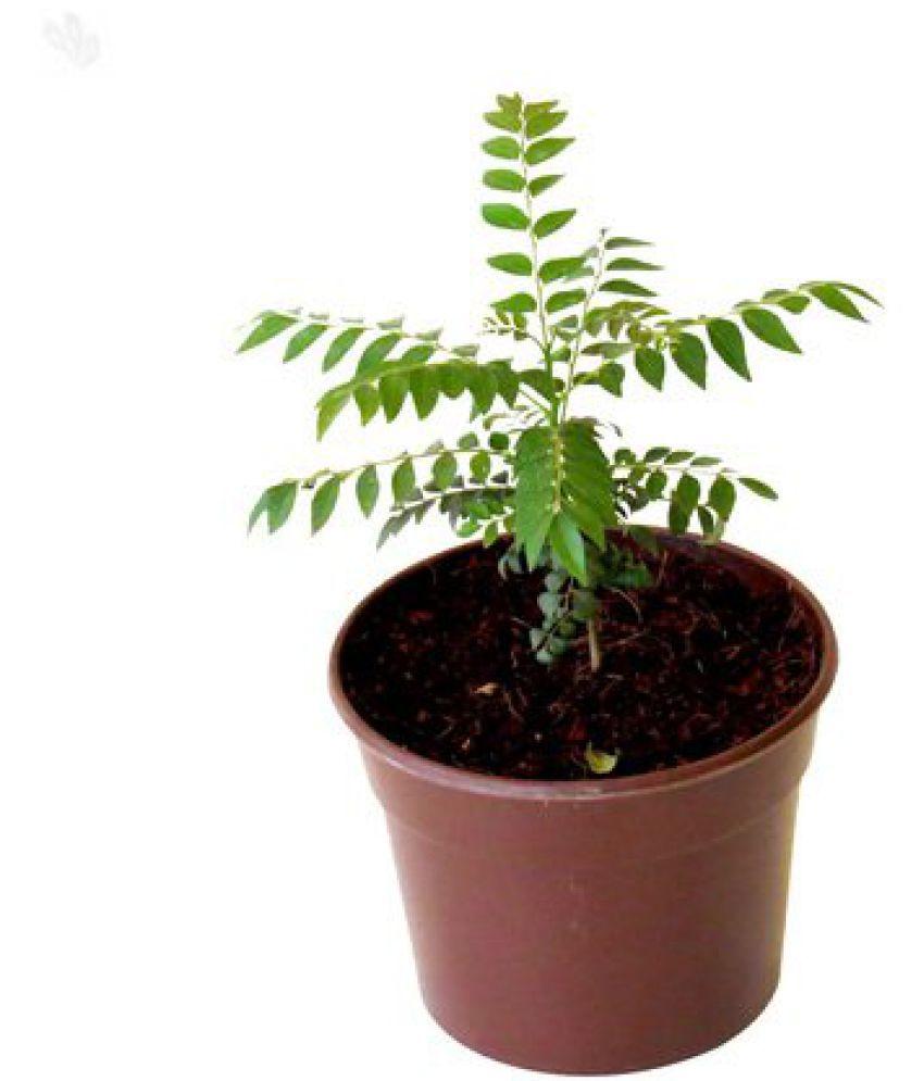 Live Nursery Curry Leaves (Kadi Patta) Live Plant ...