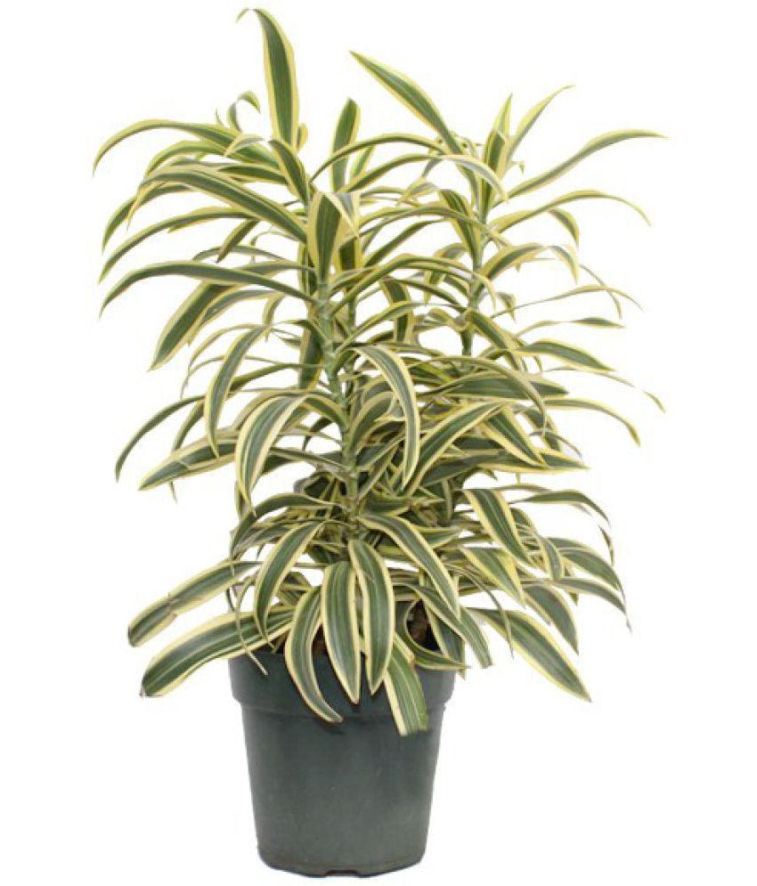 Dracaena: types, photos, titles. All about the care of the dragonza at home: tips and tricks 13