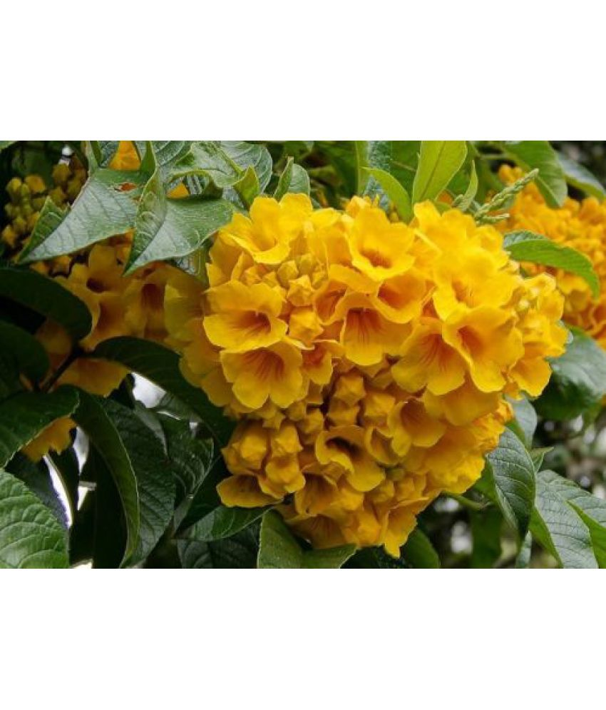V Square Retail Bright Golden Yellow Trumpet Shaped Tecoma Flowers