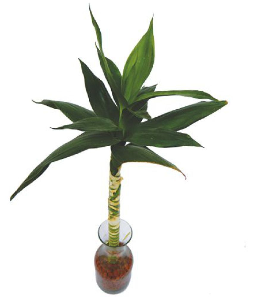 ... Green Plant Indoor Lotus Bamboo Plant Indoor Bamboo Plant