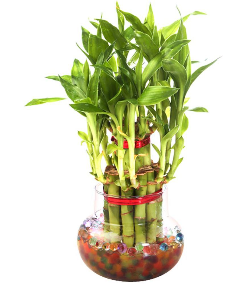 Green plant indoor 2 layerlucky bamboo plant with pot for Indoor green plants images