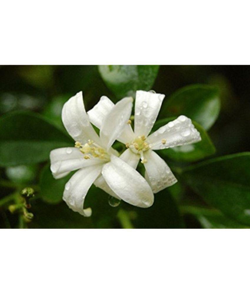 Ojorey jasmine healthy india mogra best pot indoor flower plant buy ojorey jasmine healthy india mogra best pot indoor flower plant izmirmasajfo