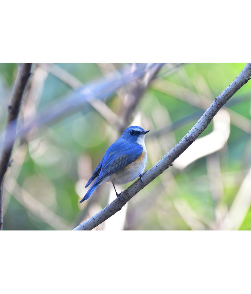 Avikalp Bird Indigo Bunting Finch Wildlife Paper Wall Poster Without Frame