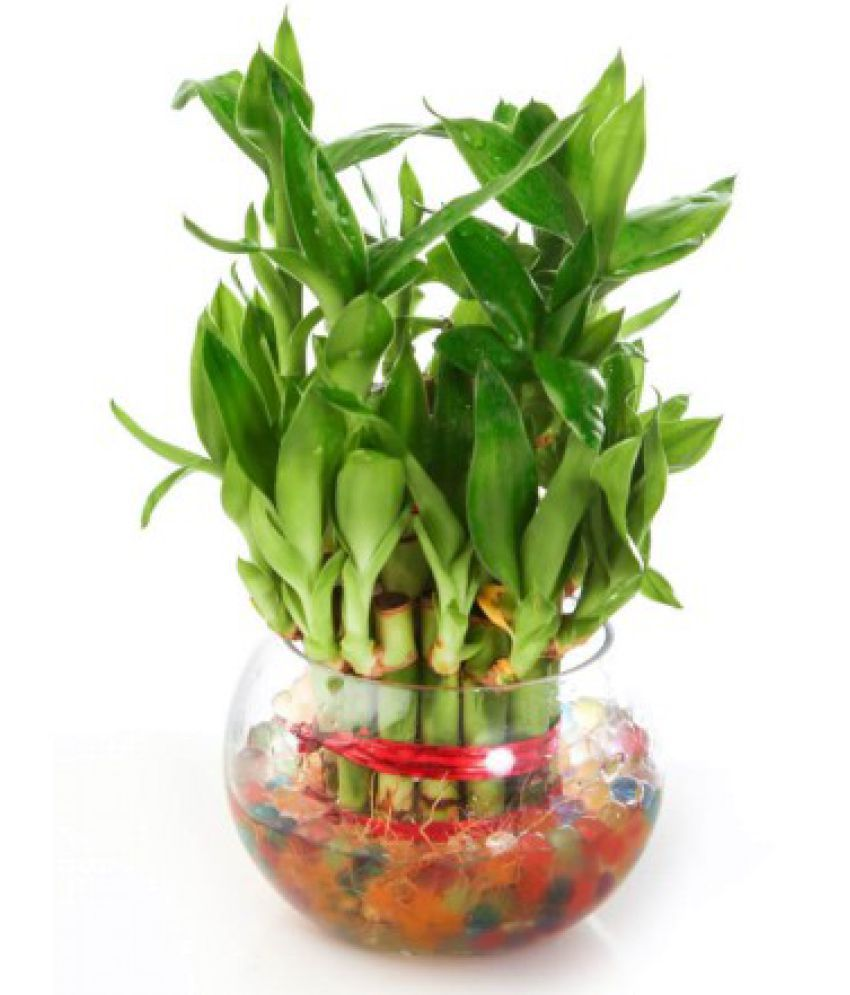 Green plant indoor 2 Layer Lucky Bamboo Plants Indoor Bamboo Plant ...
