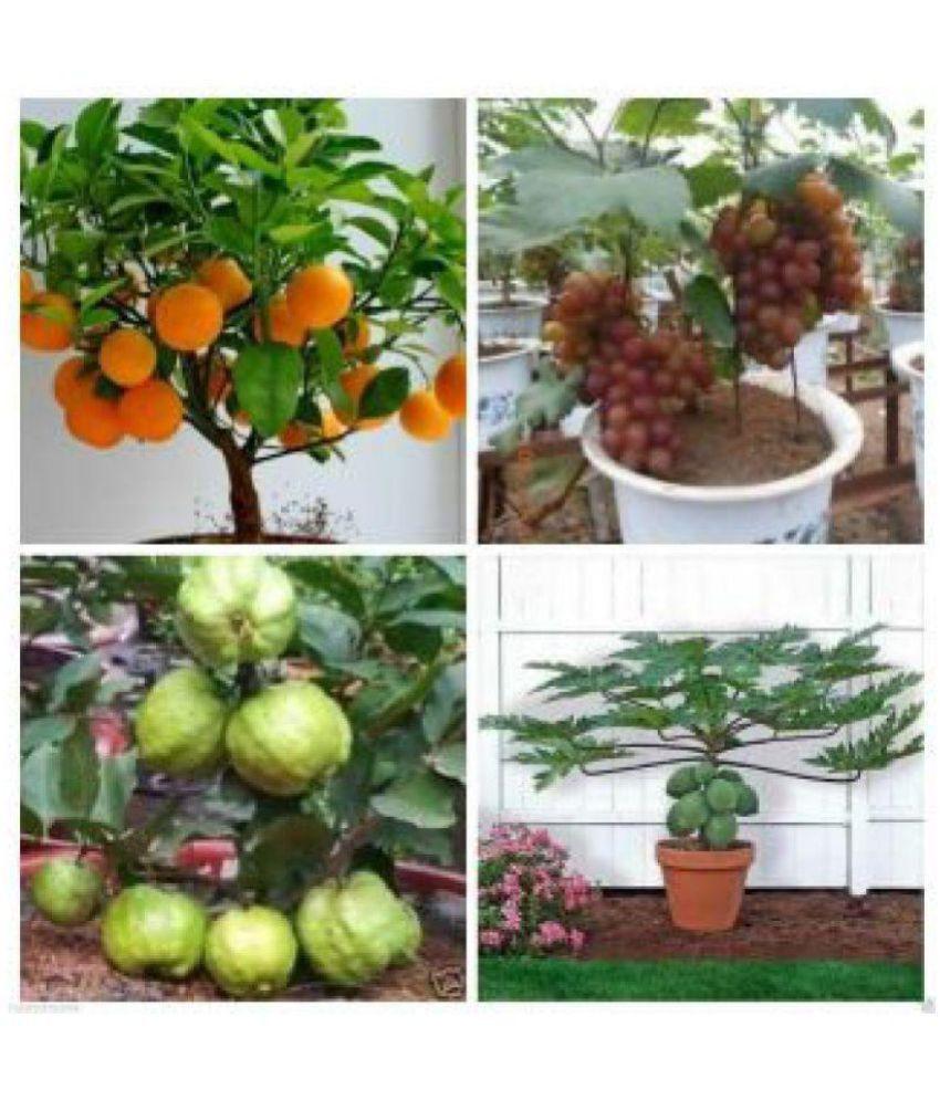 Azalea Gardens Bonsai 20 Fruit Seeds Combo Orange Guava Grapes