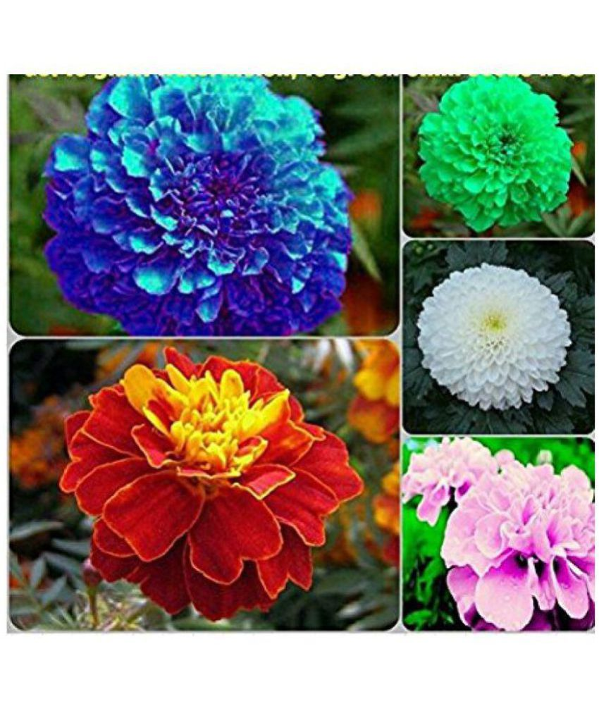 Marigold Flower Seeds Combo Blue Red Pink White Yellow 10