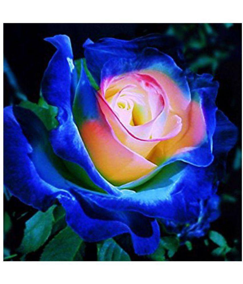 M-Tech Gardens Live Blue Moon Rose Flower Garden Plant ...