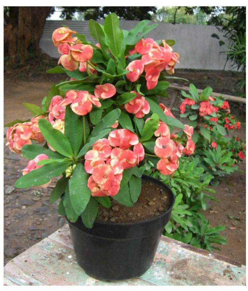 Live Nursery Euphorbia Flower Plant