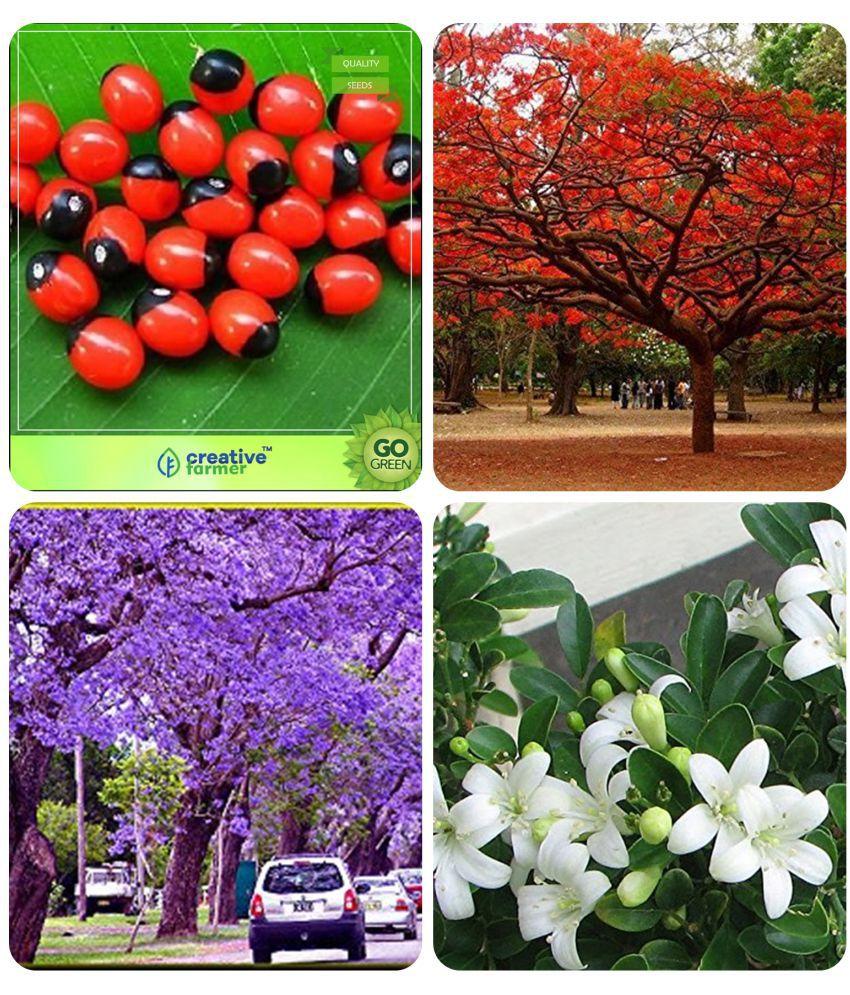 Tree Forest Seeds Abrus Precatorius Gulmohar Jacaranda Blue