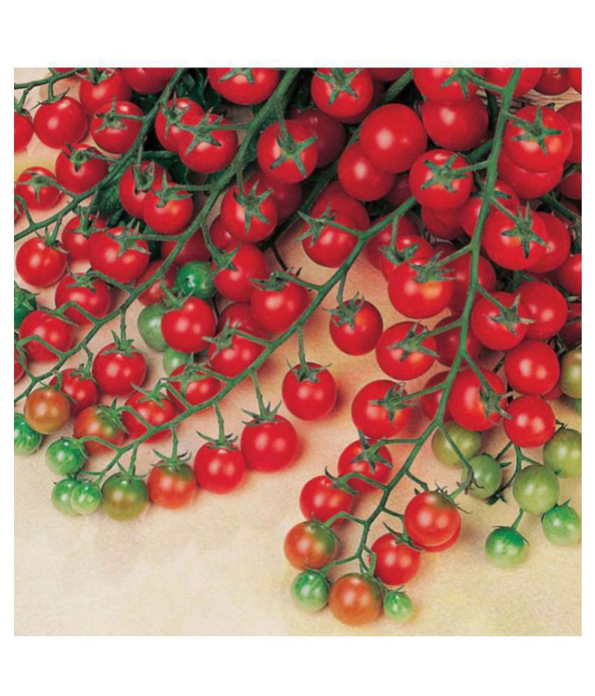 R-DRoz Cherry Tomato High Germination Seeds - Pack of 50 Hybrid Seeds (100 Grams Growing Soil Free)