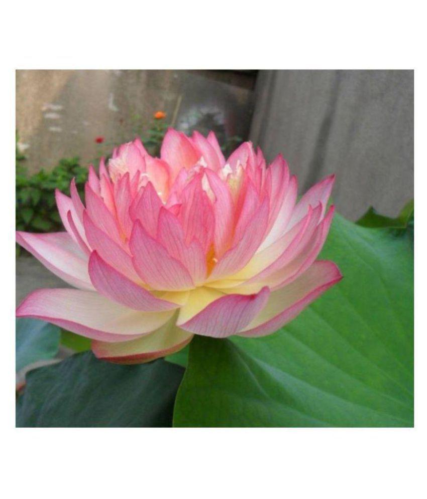 Lotus Flower Seeds Mixed Seeds Seeds For Kitchen Garden 10 Seeds