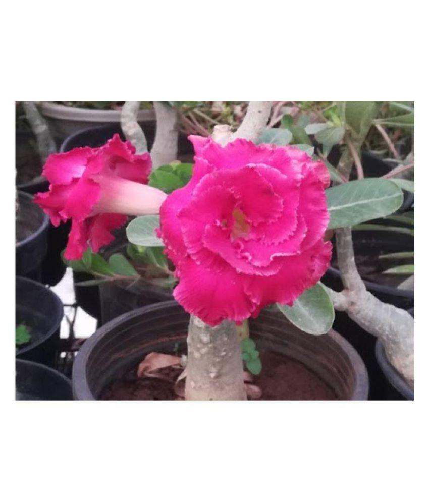 Raj Garden Plants Adenium Red Colour Grafted Outdoor Flower Plant