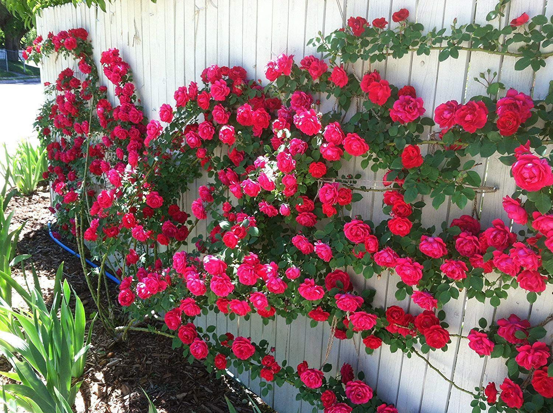 "Azalea Gardens Rose Flower Seeds ""Red Climbing Rose"" 20 ..."
