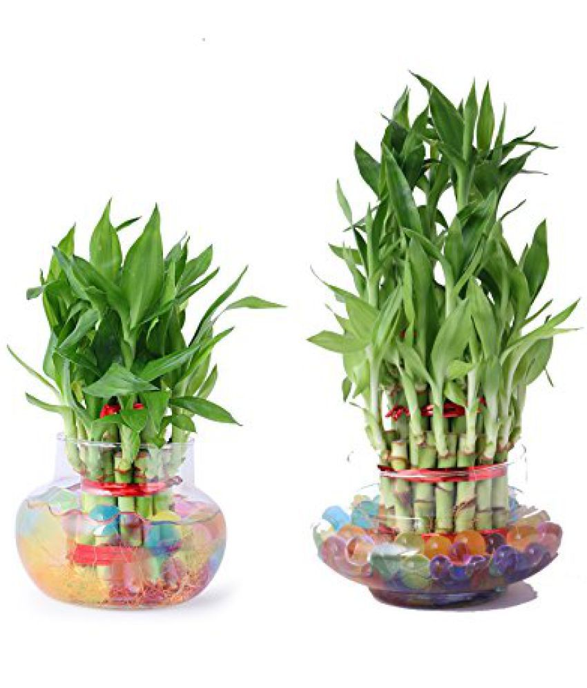 Green plant indoor 3 & 2 Layer Lucky Bamboo Bonsai Plant/ Indoor Bamboo Tree