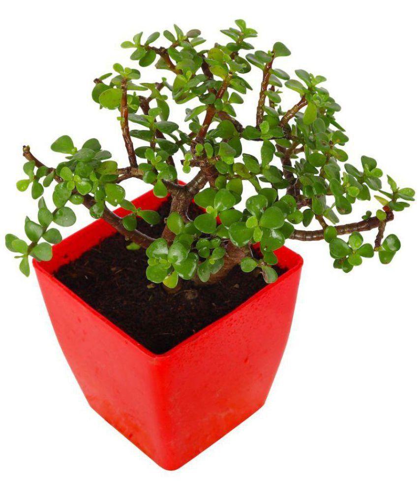 Best Indoor Plants For Small Pots: Garden Small Pot Plant BABY JADE Crassula Indoor Indoor