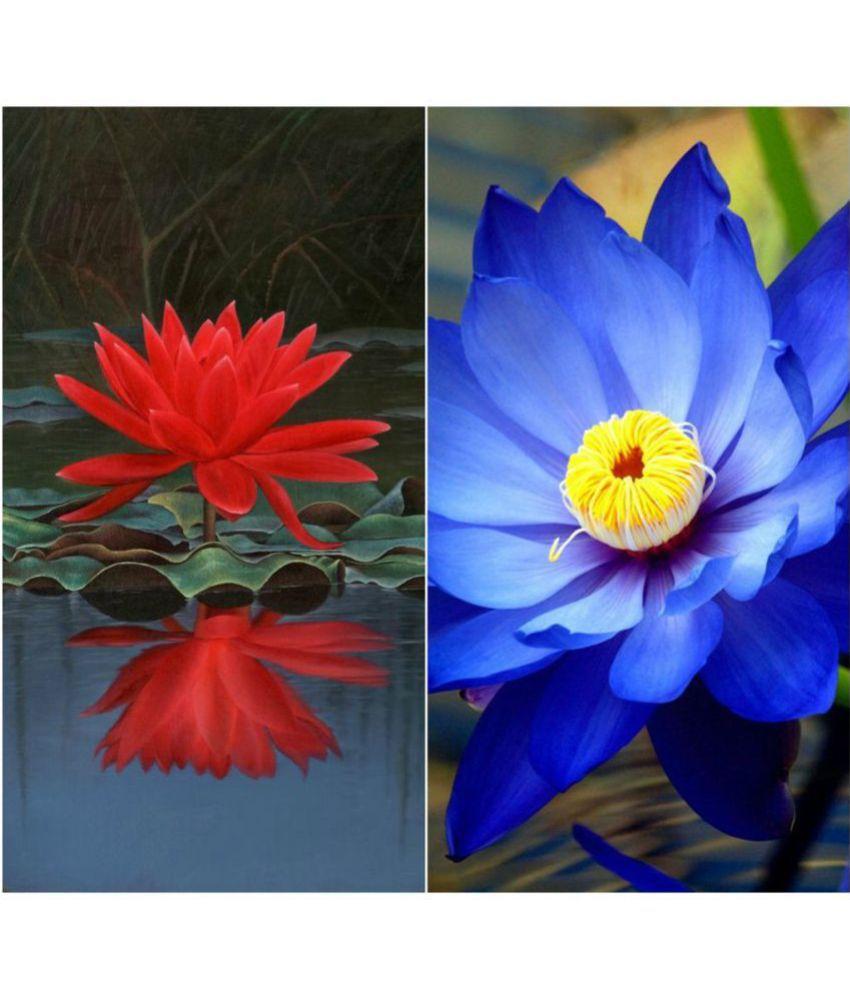 Flower Seeds Lotus Flower Seeds Red Blue Colors Seeds For