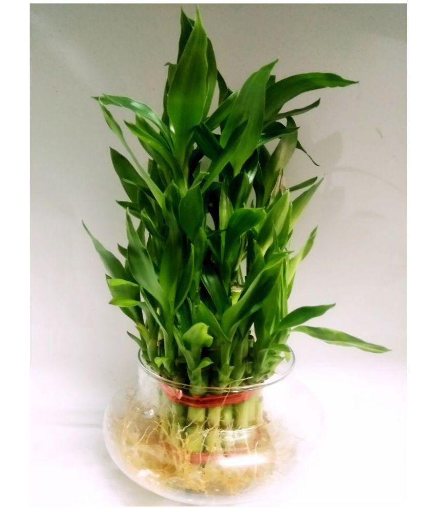 Green plant indoor 3 Layer BIG Lucky Bamboo Plants Indoor Bamboo ...