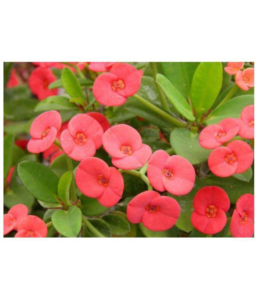 Live Nursery EUPHORBIA FLOWER PLANT Both Flower Plant: Buy ...