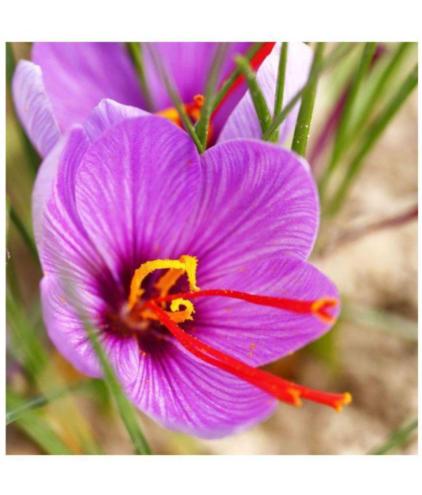 Azalea Garden Kashmiri Saffron Flower Bulbs (Pack of 2 ...Kashmiri Saffron Bulbs