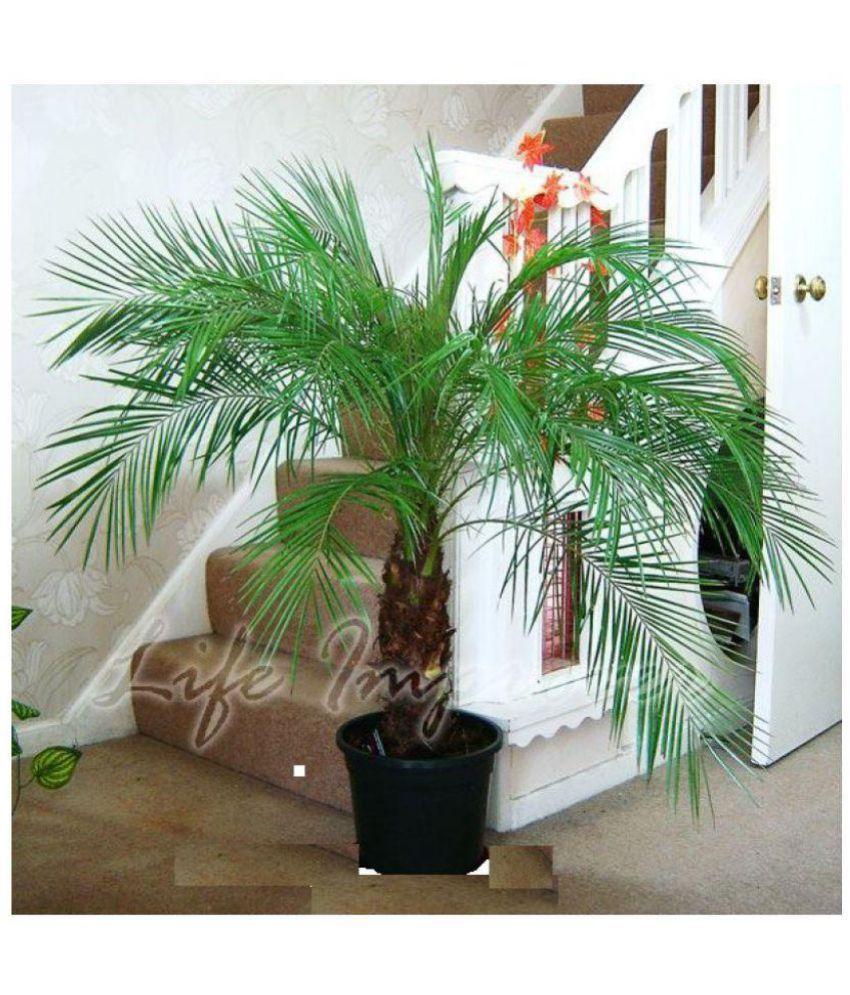 Live Nursery Phoenix Palm Plant Indoor