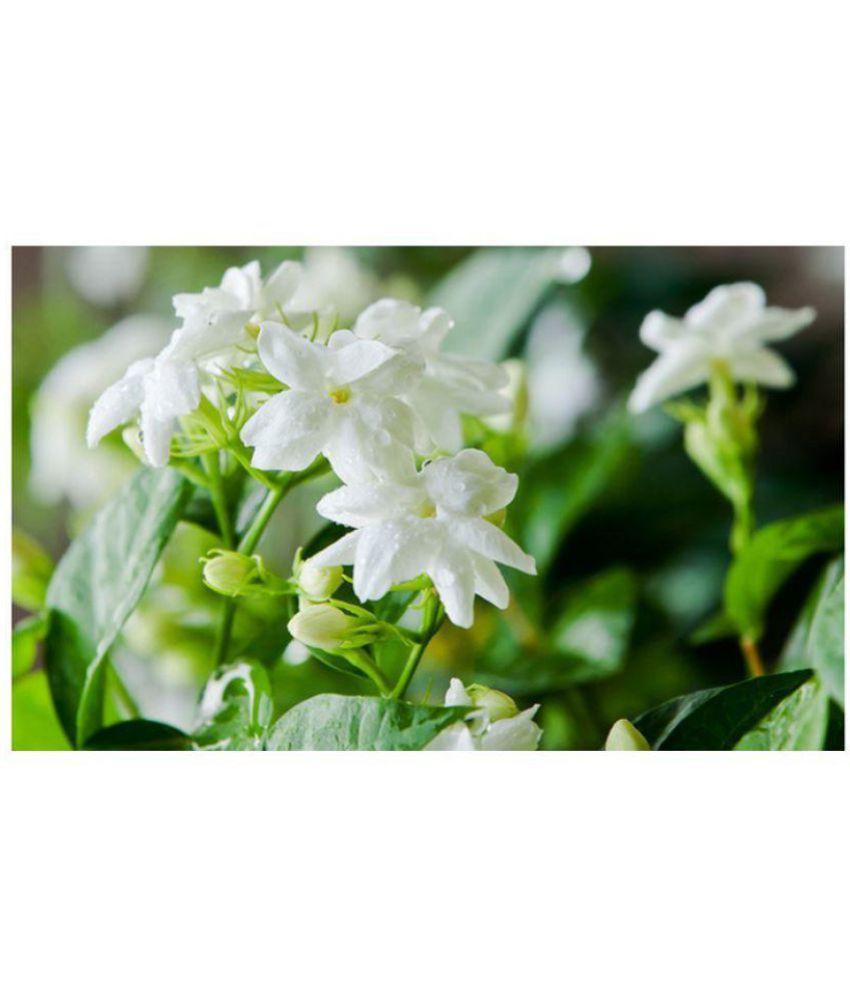 Live Nursery Jasmine Mogra Flowermotia Indoor Flower Plant Buy