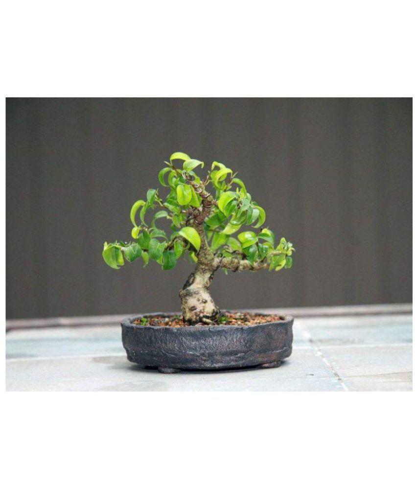 Vpn Live Mame Ficus Bonsai Plant 24 Months Old Mame Bonsai Buy Vpn Live Mame Ficus Bonsai Plant 24 Months Old Mame Bonsai Online At Low Price Snapdeal