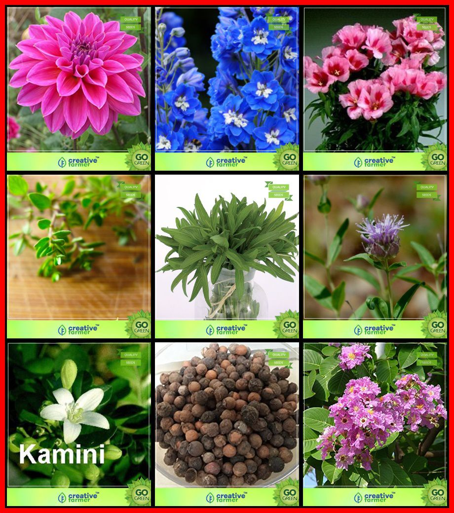 plant seeds combo flower seeds & tree seeds : kamini seeds, indian  sandalwood, pride of india, penny royal, terragon, thyme english winter,  dahlia