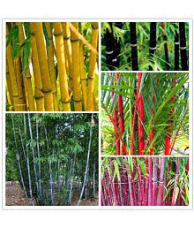 OhhSome Colorful Garden Lucky Bamboo Bonsai Plant Seeds - 10 Seeds + Instruction Manual