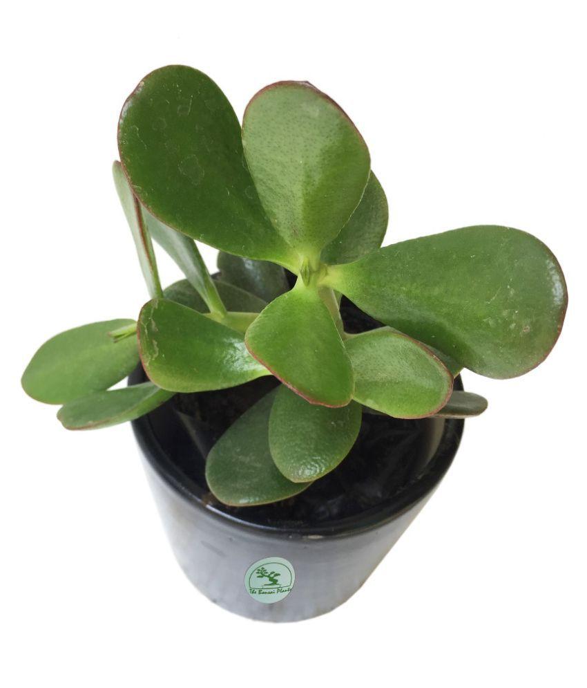 The Bonsai Plants CRASSULA OVATA/JADE/MONEY PLANT/GOOD LUCK Indoor Cacti &  Succulent Plant
