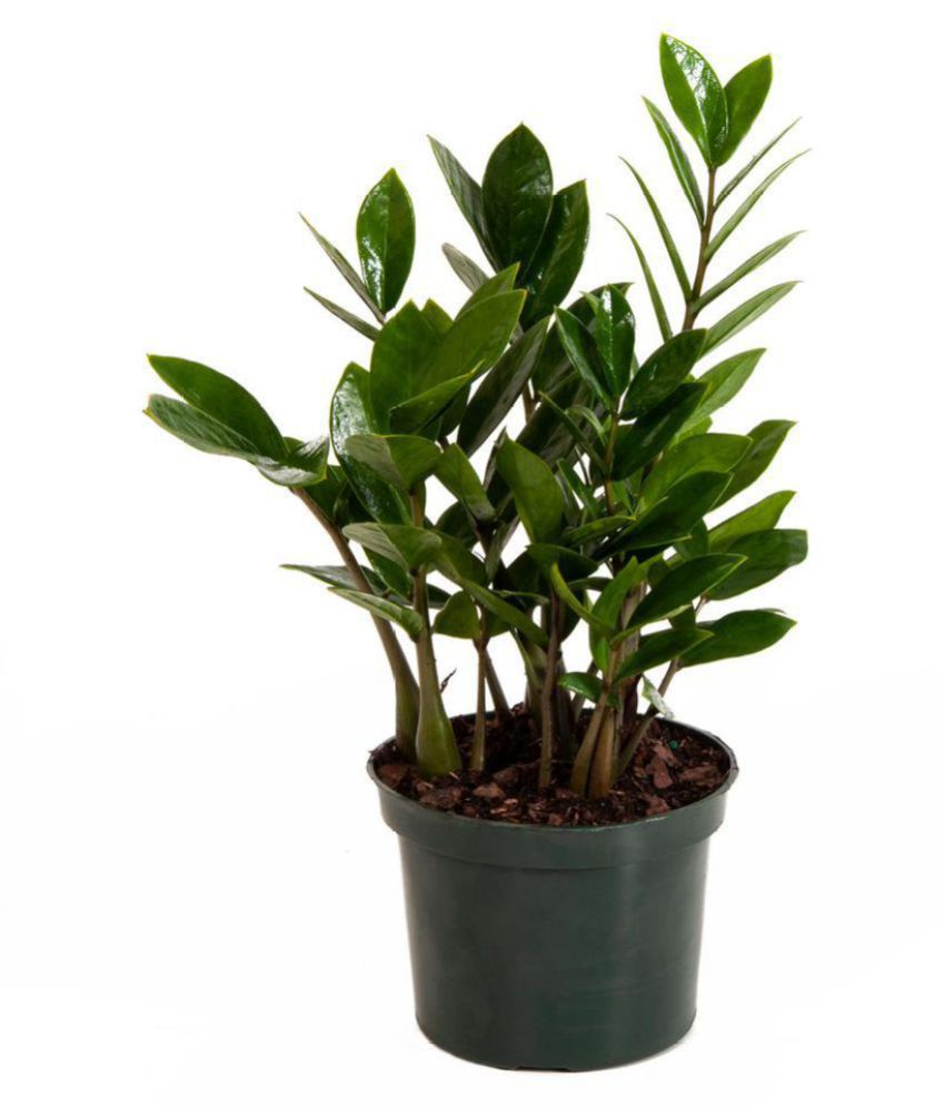Modern Plants Live Zz Plant Zamioculcas Air Purifier Indoor