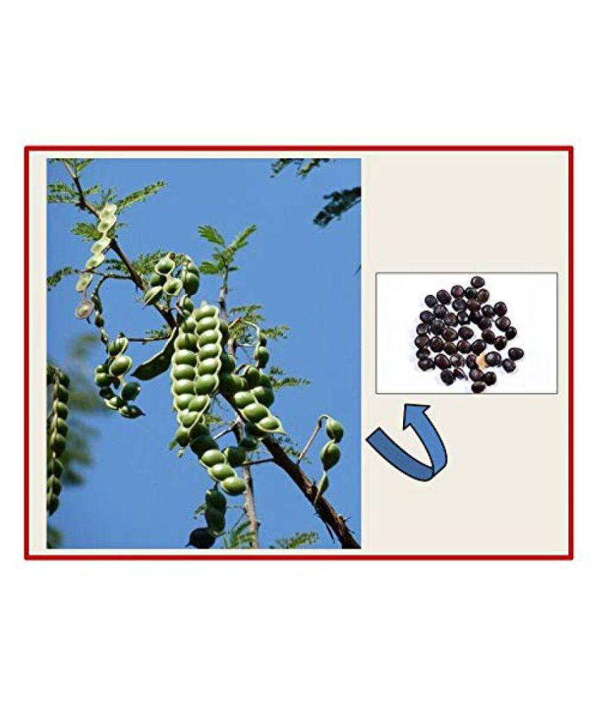 Green India Babul seeds- (Acacia nilotica seeds) - Pack of 100 g: Buy Green India Babul seeds- (Acacia nilotica seeds)