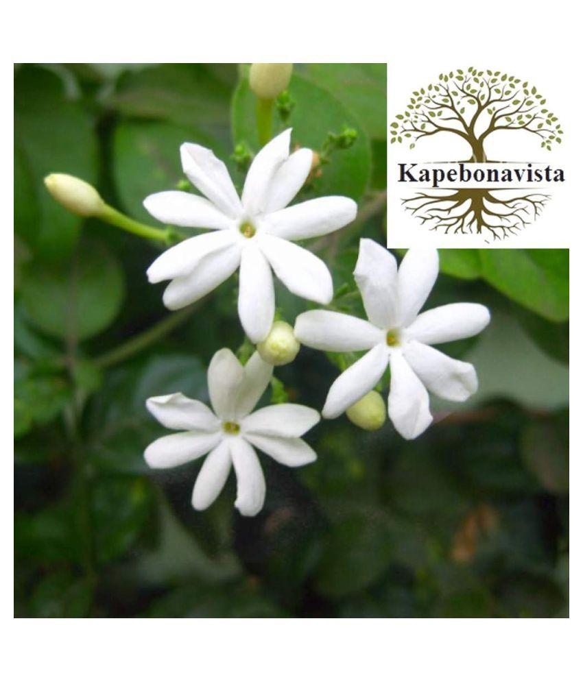 Kapebonavista Juhi Banamallika Living Plant Raw Herbs 1 no.s Pack Of 1