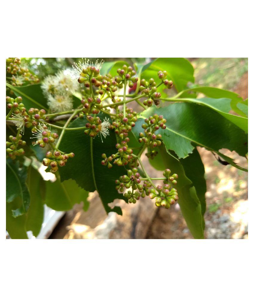 Kapebonavista Syzygium cumini plant in poly bag Raw Herbs 1 no.s Pack Of 1