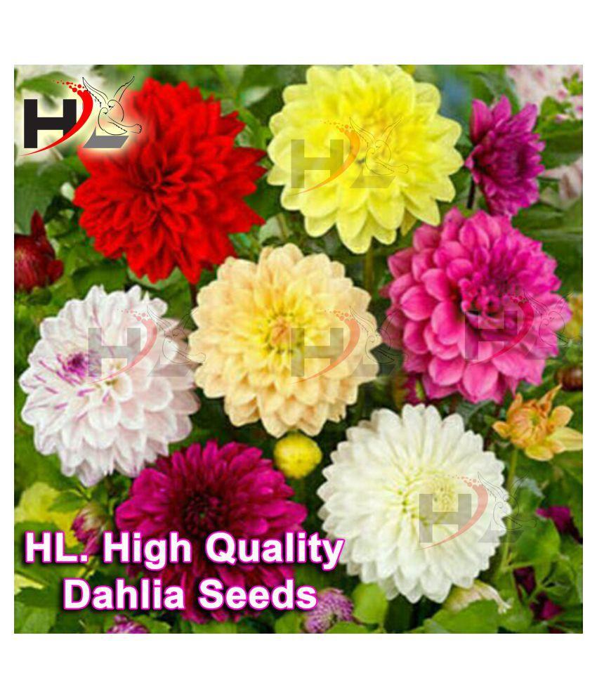 HL. Dahlia Hybrids Mixed Color - Dahlia Flower Seeds