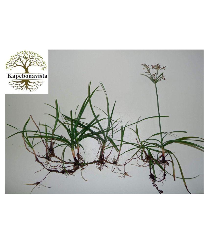 Kapebonavista Nut Grass Cyperus rotundus (150 g) Raw Herbs 1 no.s Pack Of 1