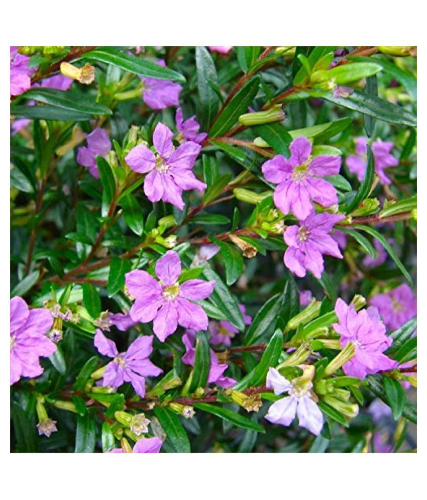 Kapebonavista Cuphea hyssopifolia in Polybag  Herbs Raw Herbs 1 no.s Pack Of 1