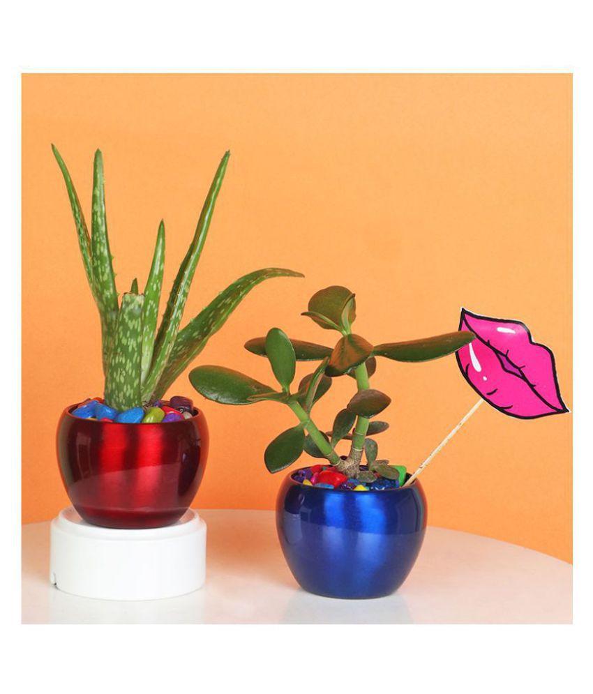 Floweraura Combo Of Aloe Vera Plant,Crassula Plant In Metal Orchid Mini Vase With Lips Tag